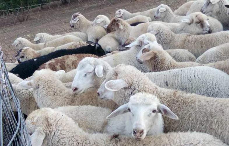 肉羊催肥药哪里买?