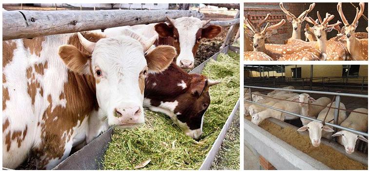 民间土方法催肥肉牛吃什么长得快?