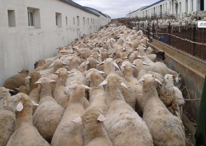 防治羊疥螨病民间小经验