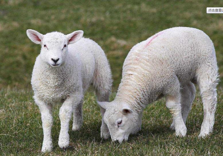 羊肝片吸虫病的诊治实例