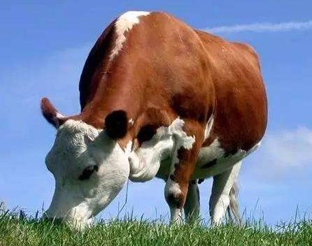 牛羊的过瘤胃蛋白饲料加工技术