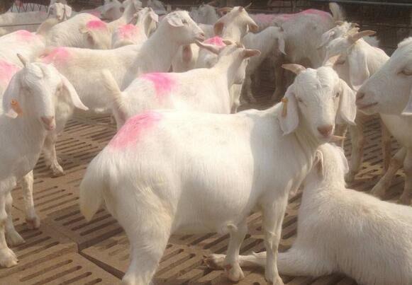 提高母羊繁殖的技术措施