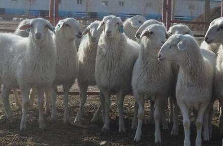 优秀的繁殖羊十六点要求