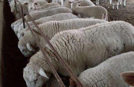 绵羊和山羊的共同之处有哪些?