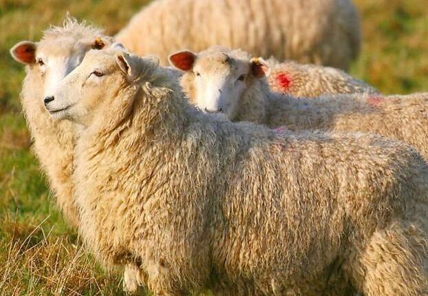季节对育肥羊的影响有那些?