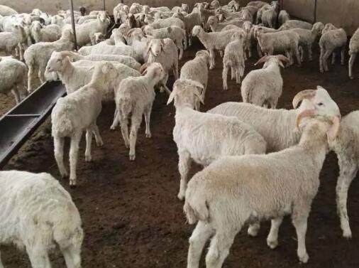 优质育肥羊生产管理要点
