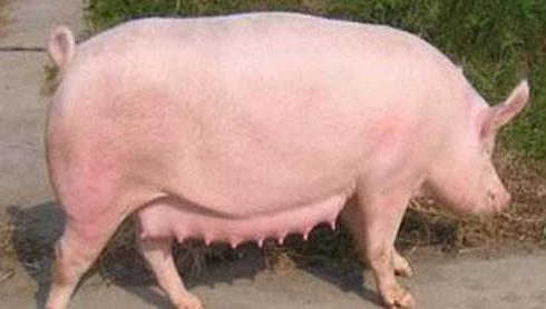 母猪对饲料营养的需求
