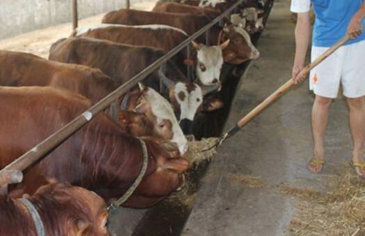 各个阶段饲料配方养牛日长5斤