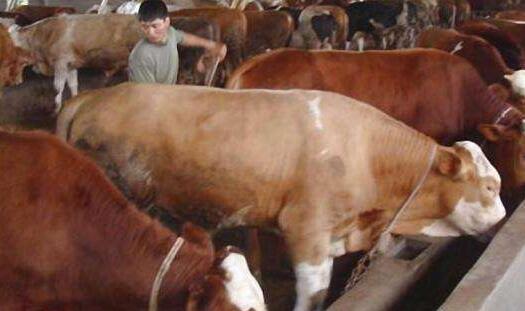 氨化秸秆喂牛的方法和相关增重数据