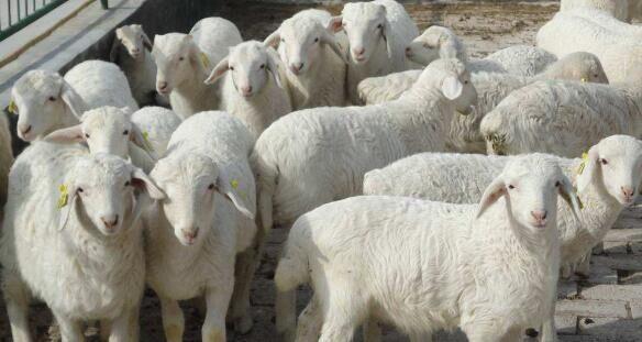 今年羊饲料的最佳配方组合