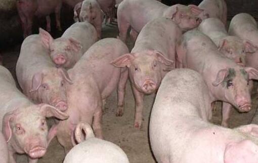 用什么产品养猪催肥长肉快?