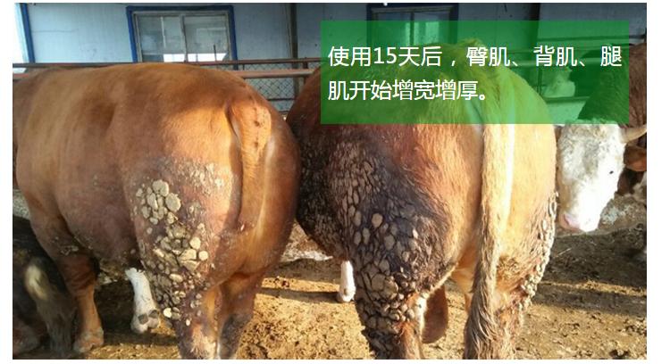 饲美佳魔鬼催肥剂养牛的效果