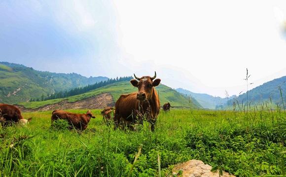 农村草药配方快速育肥肉牛一招见效