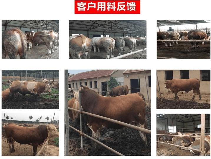 牛吃什么长得胖?如何养牛长得快?