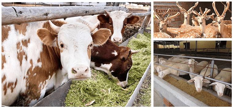 肉牛后期催肥增重产品