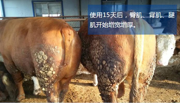 肉牛催肥产品哪个好?